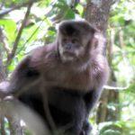 sáfari de macaco prego minas gerais